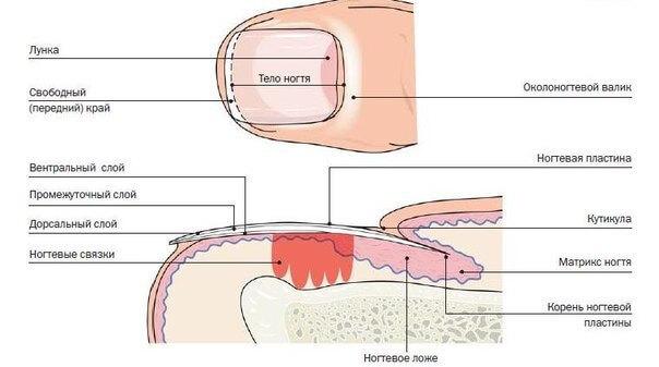 Структура строение ногтя